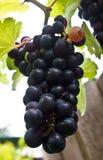czarne winogron Obraz Royalty Free