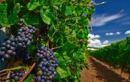 czarne winogron Obrazy Stock