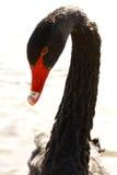 Czarnego łabędź Cygnus atratus Zdjęcia Royalty Free
