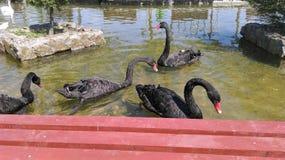 Czarnego łabędź grupa Zdjęcia Royalty Free