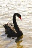Czarnego łabędź portreta cygnus atratus Zdjęcie Royalty Free