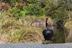 Czarnego łabędź stojak Fotografia Royalty Free