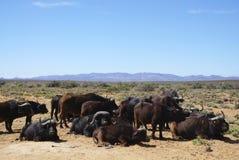 Czarnego Afrykanina stada bawoli obsiadanie i pozycja przy Afryka safari Obrazy Stock