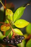 Czarnego aronia pigwy dorośnięcia jagodowy muśnięcie i chujący zielony ulistnienie na gałąź krzak Zdjęcie Royalty Free