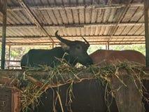 Czarnego bizonu pozycja pod dachem w hovel zdjęcia royalty free