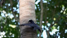 Czarnego Drongo Dicrurus Macrocercus łasowania Ptasi insekty na drzewie zbiory wideo