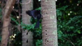 Czarnego Drongo Dicrurus Macrocercus łasowania Ptasi insekty na drzewie zbiory