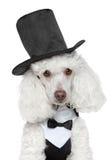 czarnego kapeluszu pudla zabawki waistcoat zdjęcia stock