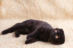 Czarnego kota brytyjski shorthair z kolorem ? zdjęcie stock