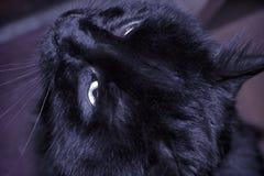 Czarnego kota fotografia Obrazy Royalty Free