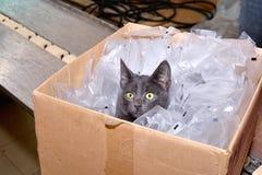 Czarnego kota obsiadanie w kartonie wliczając kocowania zdojest fact Fotografia Royalty Free