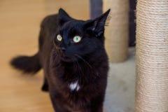 Czarnego kota odprowadzenie Zdjęcie Royalty Free