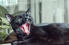 czarnego kota, otwarte usta ziewanie kota Fotografia Royalty Free