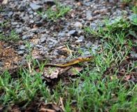 Czarnego kota poisonless wąż znajdujący w ind Zdjęcia Royalty Free