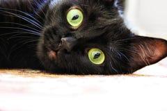 czarnego kota portret Zdjęcie Royalty Free