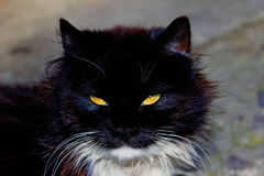 czarnego kota portret zdjęcia stock