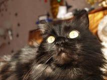 Czarnego kota portret z dużymi żółtymi oczami Zdjęcia Royalty Free