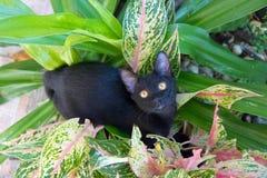 Czarnego kota spacery w krzakach Zdjęcie Royalty Free