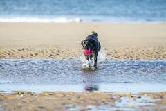 Czarnego labradora psia przynosi piłka od morza Zdjęcie Royalty Free