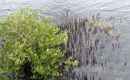 Czarnego mangrowe drzewo Zdjęcie Royalty Free