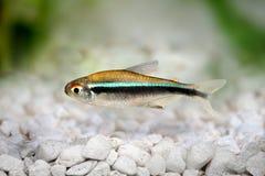 Czarnego Neonowego Tetra Hyphessobrycon herbertaxelrodi akwarium słodkowodna ryba Fotografia Stock