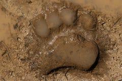 Czarnego niedźwiedzia ślad Obraz Royalty Free