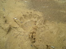 Czarnego niedźwiedzia ślada Fotografia Royalty Free