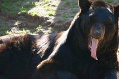 Czarnego niedźwiedzia jęzor Fotografia Royalty Free