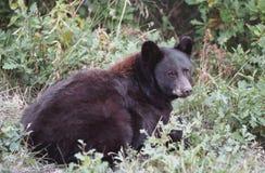 czarnego niedźwiedzia leżącego Zdjęcie Royalty Free