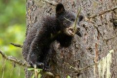 czarnego niedźwiedzia niemowlę Zdjęcia Royalty Free