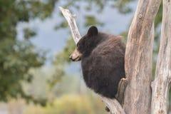 czarnego niedźwiedzia niemowlę Fotografia Royalty Free