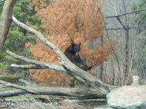 Czarnego niedźwiedzia siedzieć obraz royalty free