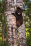 Czarnego niedźwiedzia Ursus lisiątka americanus spojrzenia Zestrzelają Od Drzewnego bagażnika Obrazy Royalty Free