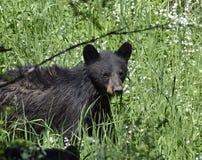 Czarnego niedźwiedzia gapienie Obraz Royalty Free
