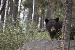 Czarnego niedźwiedzia Kanadyjskie Skaliste góry Fotografia Royalty Free