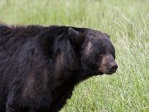 Czarnego niedźwiedzia knur Fotografia Royalty Free
