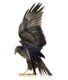 czarnego orła myszołowa płaska young zdjęcia stock