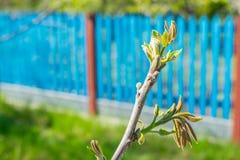 Czarnego orzecha włoskiego pączki zamykają up (Juglans nigra) Orzechów włoskich kwiaty, branc zdjęcia stock