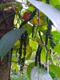Czarnego pieprzu rośliny na arecanut drzewach obraz stock