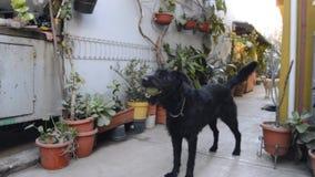 Czarnego psa bawić się zbiory