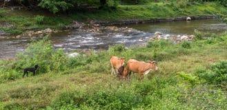 Czarnego psa dopatrywania łydki stroną rzeka w Kiriwong i krowa obrazy stock
