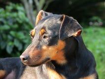 Czarnego psa mutts Zdjęcia Stock