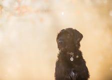 Czarnego psa obsiadanie w jesień lesie Zdjęcia Stock