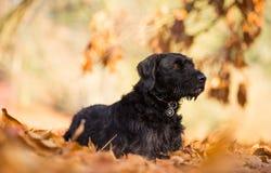 Czarnego psa obsiadanie w jesień lesie Zdjęcie Stock
