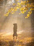 Czarnego psa obsiadanie w jesień lesie Obraz Stock