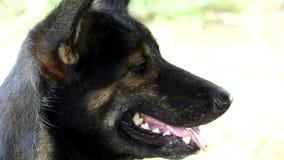 Czarnego psa oddychanie z klejenie jęzorem Za zbiory wideo