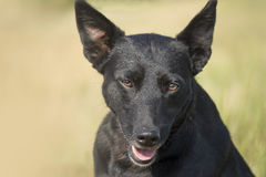 Czarnego psa pies w profilu Fotografia Royalty Free