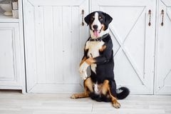 Czarnego psa pudel na smyczu obrazy royalty free