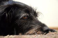 Czarnego psa spoczynkowy czas Fotografia Stock