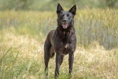 Czarnego psa szczęśliwy psi stary pies Obraz Stock